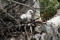 Sokolí mláďata se mají na dvou hnízdištích v Moravském krasu k světu. Zatím jich je sedm. Na snímcích sokoli v hnízdě nad Býčí skálou.