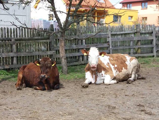 Krávy Adéla a Týna.