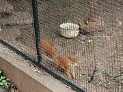 Před rokem začali v letovickém zámku s chovem veverek. Netušili, kolik problémů jim to přinese.