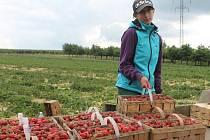 Na jahodových polích v Lysicích je v těchto dnech živo. Letošní sklizeň šťavnaté pochoutky totiž vrcholí.