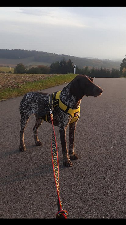 Rodina Ireny Němcové z Lačnova ztratila německého krátkosrstého ohaře. Dvouletá fenka Amy (na snímcích) se zaběhla v úterý odpoledne a od té doby o ní rodina neví. Pes se může pohybovat v okolí obcí Štěchov-Lačnov, Lysice nebo Bedřichov.