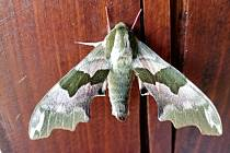 Na Zdeňka Sedláka čekalo ve středu ráno na chalupě v blanenské Obůrce překvapení. Na jednom z dřevěných trámků se totiž vyhříval motýl, jakého v životě neviděl.