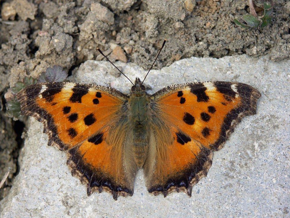 Vzácný motýl babočka vrbová se objevil v Blansku.