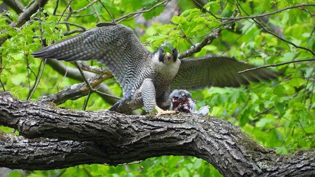 Sokoli stěhovaví hnízdí v Moravské krasu pravidelně už několik let.