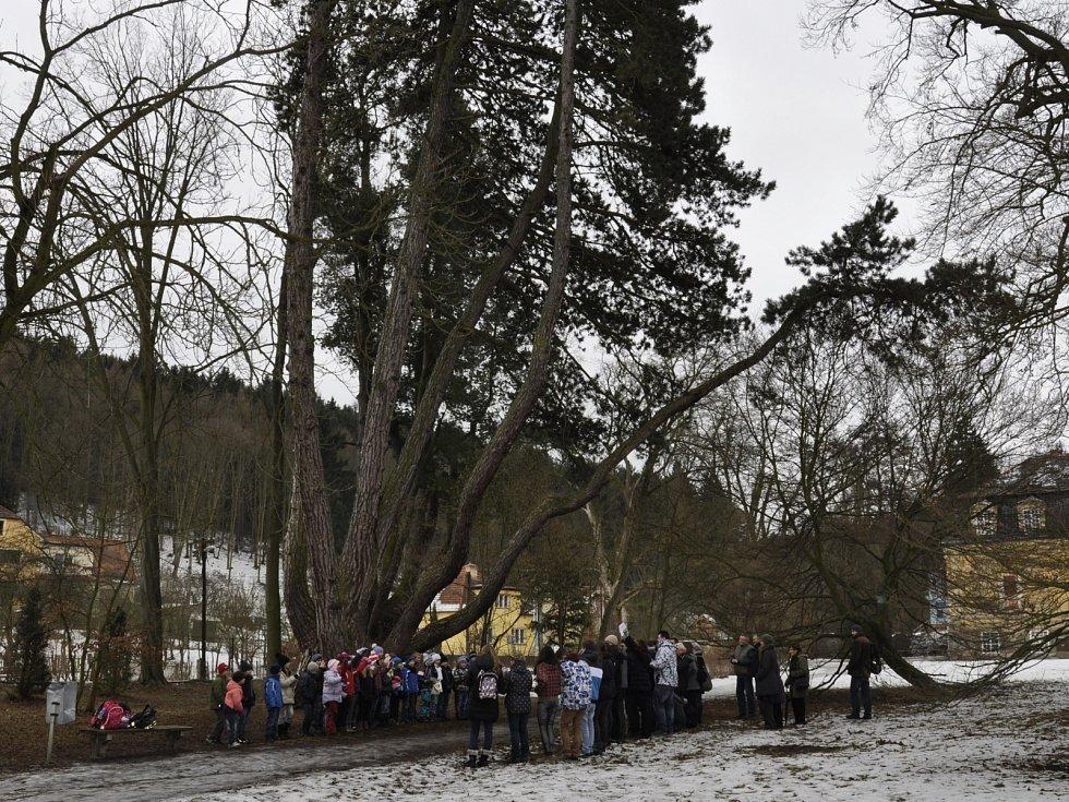 Velkoopatovickou borovici navštívil lovec stromů.