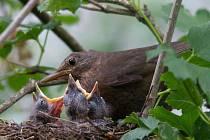 Kosí mláďata v hnízdě.