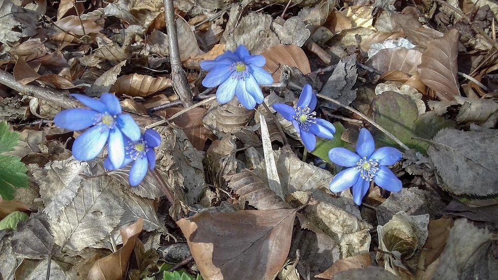 Z procházek za jarními květy na Blanensku.