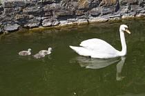 Začátkem tohoto týdne se labutímu páru, který je ozdobou vodního valu na zámku v Lysicích, vylíhla tři mláďata.
