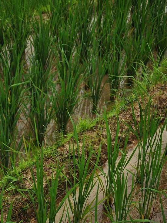 rýžová políčka