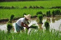 zemědělec na rýžovém poli