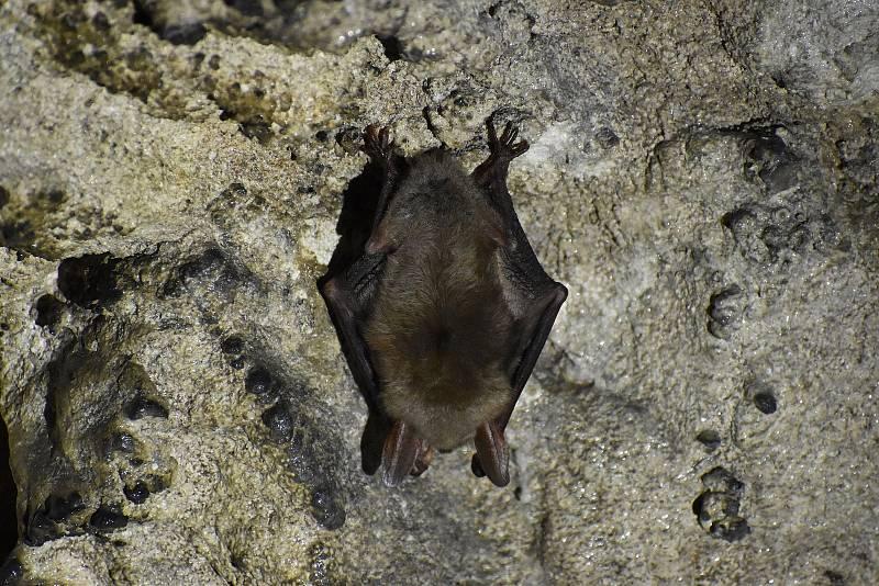 Sčítání netopýrů na zimovištích v jeskyních v Moravském krasu na Blanensku. Na snímcích je sčítání v jeskyni Lidomorna u obce Holštejn.