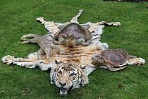 Kriminalisté prověřující informace k veřejným zakázkám našli v Rájci-Jestřebí na Blanensku při domovní prohlídce tygří kůži s hlavou a tři vypreparovaná zvířata.