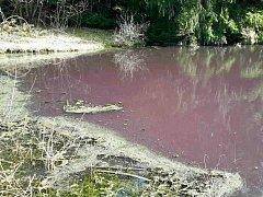 Rybník v Lipovci znečištěný do fialova
