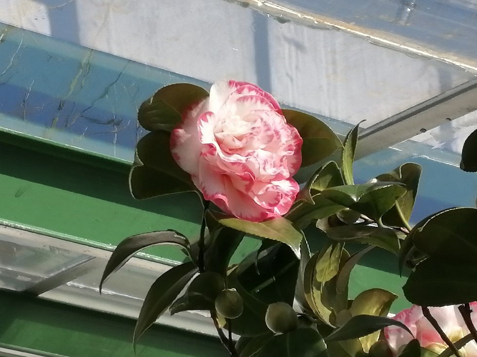 Kvetoucí kamélie na zámku v Rájci nad Svitavou.