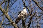 V Moravském krasu na Blanensku po roce opět zahnízdily dva páry sokola stěhovavého. Obě hnízda jsou v národní přírodní rezervaci. Jedno na Býčí skále. Na snímku sokol právě z této lokality.
