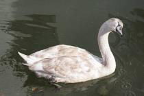 Na zámku v Lysicích pokřtí v neděli mladou labuť.