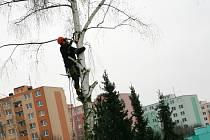 Pracovníci z adamovské technické čety káceli ve svahu naproti mateřské školce v ulici Petra Jilemnického. K zemi šly přestárlé břízy a osiky.