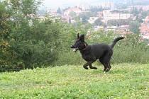 Edmond. štěňátko kříženec téměř černý (  asi NO s belg.ovčákem ),  Věk:  4,5 až 5 měsíců, hodný pejsek, rád si hraje