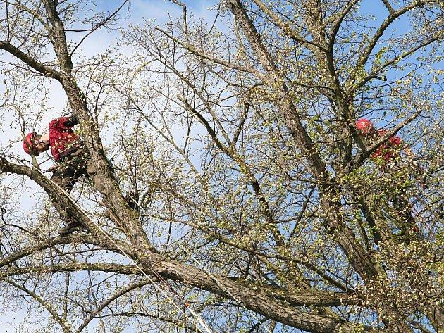 V koruně sto padesát let staré lípy na okraji Letovic se ve středu dopoledne na lanech pohupovali dva muži s přílbami a pilami. Řezali uschlé a poškozené větve.