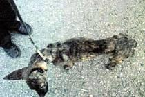 Pes, kterého adamovští strážníci vytáhli z kanálu.