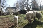 Probouzející se příroda a rodící se mláďata neodmyslitelně patří k začátku jara. Svoje stádečko ovcí mají i na farské zahradě u kostela svatého Martina v Blansku.