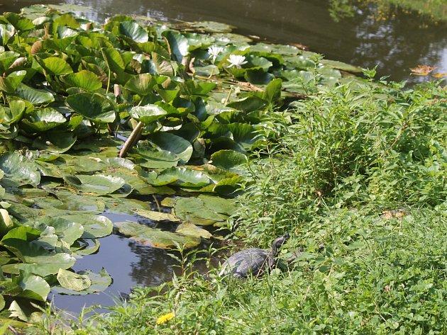Želva nádherná uzámeckého rybníčku vblanenském parku.
