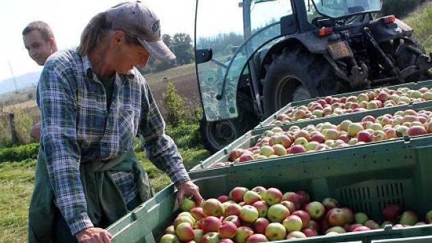 Dvacet až třicet tun jablek denně. Takové množství v těchto dnech sklízejí česači v sadech společnosti ZEAS Lysice.