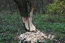 Na stopy po bobří hostině mohou v těchto dnech nově narazit také lidé v okolí Adamova. Kolik bobrů na Blanensku žije, se dá v současnosti jen odhadovat. Zoologové totiž jeho populaci podrobně sledují jen v lokalitách evropského významu.