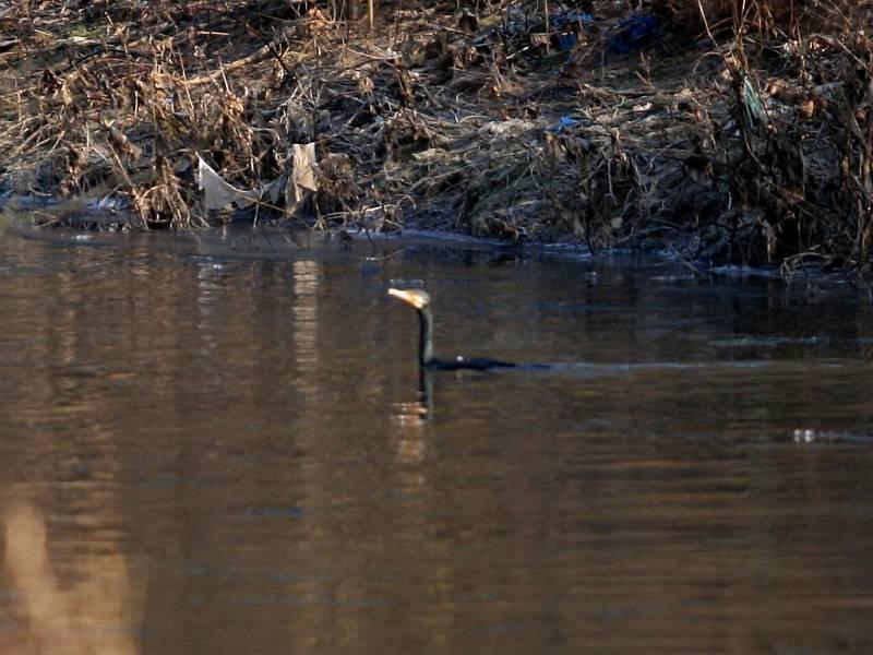 Kormoráni loví ryby také na řece Svitavě mezi Adamovem a Letovicemi. Hejno několika desítek kusů zimuje u Svitávky, ale za lovem odlétá také jinam.