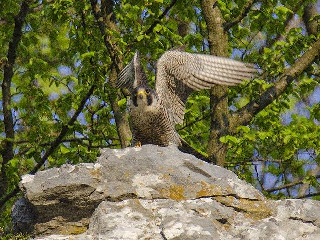 Ornitologové jásají, sokoli jsou zpět. Mláďata se vylíhla dvěma párům v Moravském krasu.