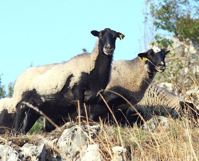Ovce z Vilémovických skal.