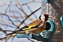 Ornitologvé k zimnímu sčítání ptáků. U krmítka mohou lidé vidět třeba stehlíka obecného. Foto: Helena Kratochvílová