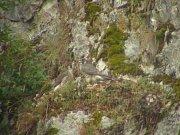 Po téměř půl století se v Moravském krasu usídlil pár sokolů stěhovavých. Vyvedli tři mláďata (dvě z nich jsou na snímku). V jejich návrat už ochranáři ani ornitologové příliš nevěřili. Druh byl dokonce prohlášen na našem území za vyhynulý.