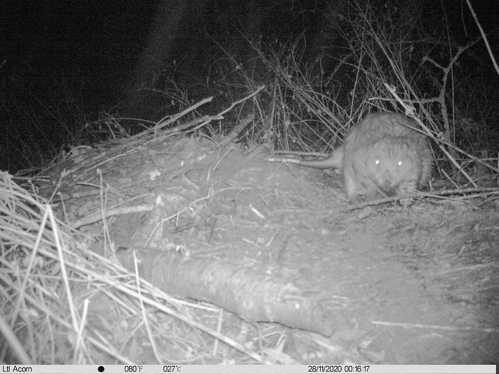 Pár bobra evropského se usadil v Národní přírodní rezervaci Vývěry Punkvy v Moravském krasu.
