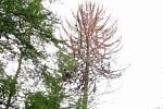 V Moravském krasu uschl památný strom. Dvě stě let starý smrk u Habrůvky.