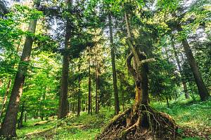 Podle odborníků je důležitá také různá věková skladba stromů.