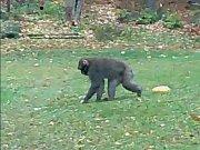Uprchlý makak na silnici mezi Baldou a Stašovem.