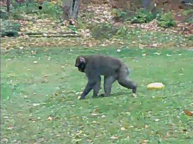 Samec makaka makaka červenolícího natočený v letovické části Kladoruby.