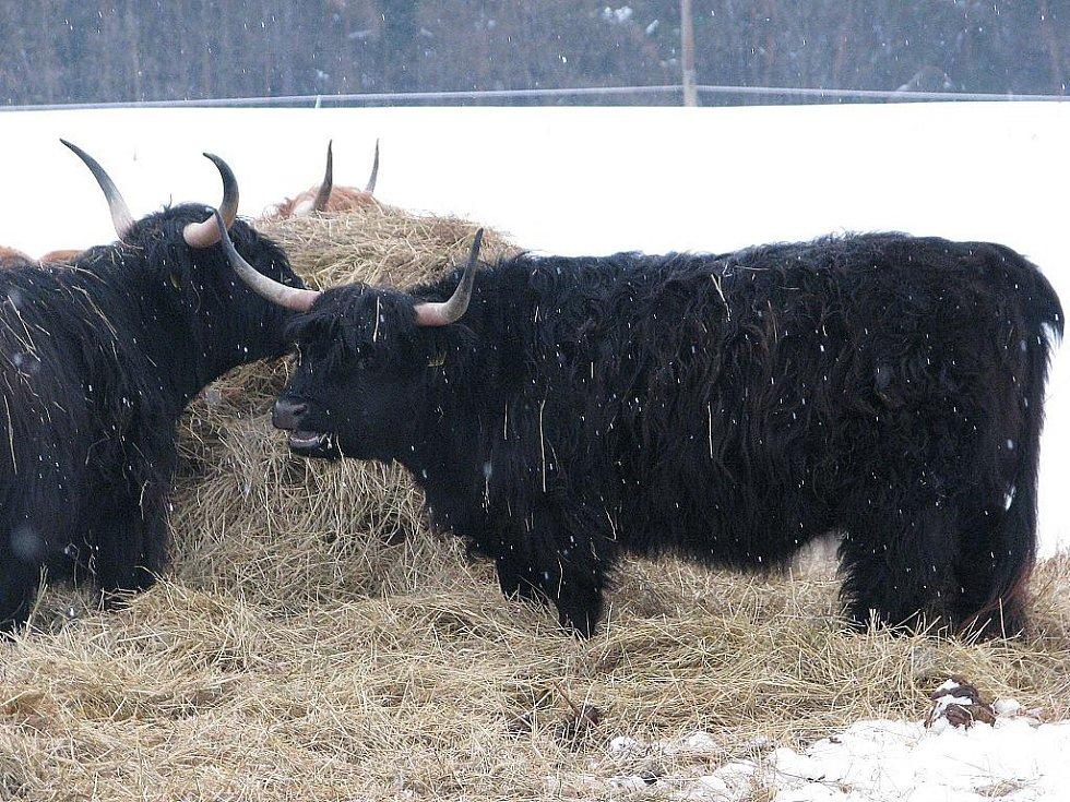 V agrocentru Ohrada ve Vískách mají stádečko skotského náhorního skotu.
