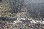 Projevy bobra v přírodě.