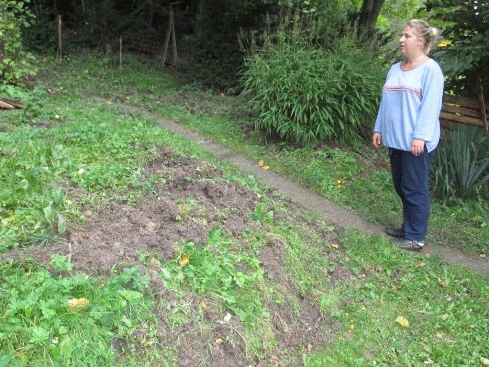 Divoká prasata v těchto dnech ničí zahrady lidem v Adamově.