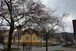Obyvatelům boskovické ulice Švermova vadí alej okrasných třešní.