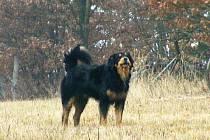 Jeden ze zdivočelých toulavých psů.