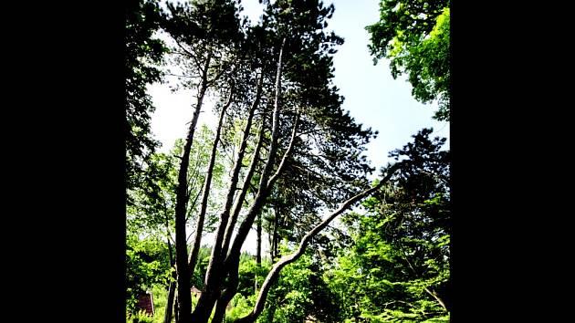 Velkoopatovická borovice.