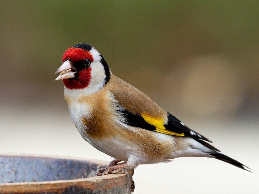 Stehlík obecný. Ptáci pózují u krmítek. Ládují se slunečnicemi.