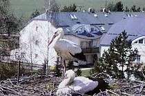 Na komín mateřské školy v Jedovnicích se vrátil párek čápů. Samice je ze Slovenska. Kamera z hnízda zaznamenává živý přenos.