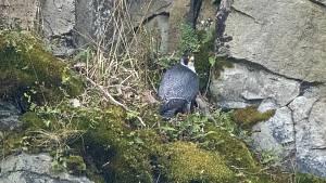 René Bedan natočil na vzdálenost několika set metrů v hnízdě všechna čtyři mláďata.