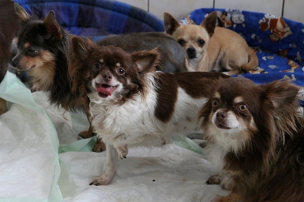 Pětatřicet psů z množírny z Břeclavska našlo nový domov v psím hospicu v Bukovince na Blanensku. Po karanténě a ošetření budou připraveni k adopci.