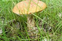 Křemenáč, nalezený v lese u Kuniček v neděli 7. 6. 2009. Takže rostou!