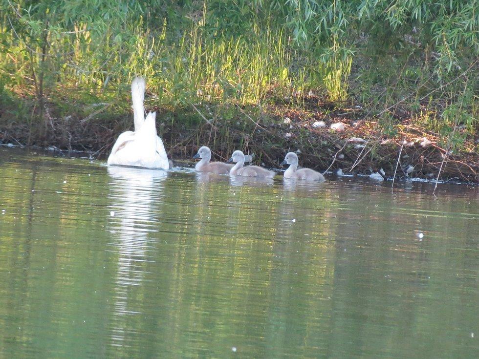 Ornitologové na Blanesku sečetli labutě,